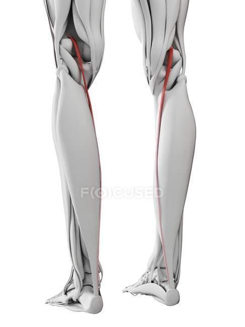Anatomía masculina que muestra músculo Plantaris, ilustración por computadora . - foto de stock
