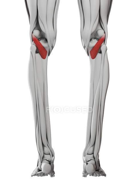 Anatomia masculina mostrando músculo poplíteo, ilustração computacional . — Fotografia de Stock