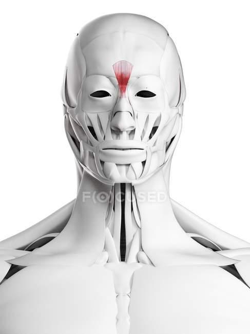 Anatomia masculina mostrando músculo Procerus, ilustração computacional . — Fotografia de Stock