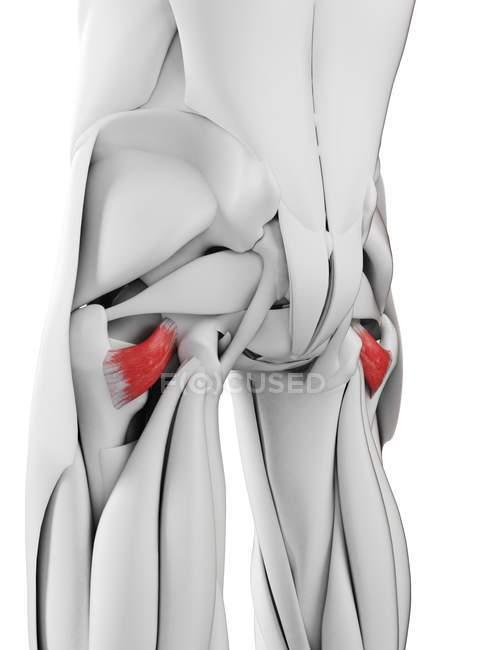 Anatomia masculina mostrando músculo Quadratus femoris, ilustração computadorizada . — Fotografia de Stock