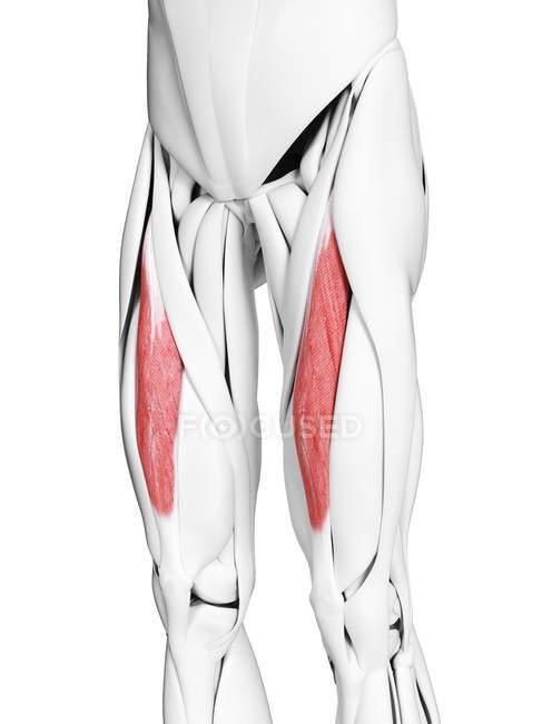 Anatomía masculina que muestra músculo recto femoral, ilustración por computadora . - foto de stock
