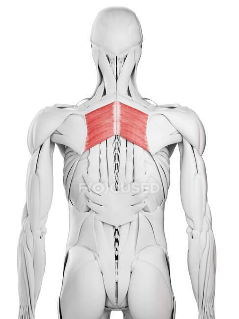 Anatomía masculina que muestra músculo mayor romboide, ilustración por computadora . - foto de stock