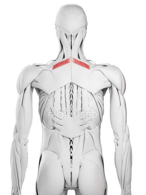 Anatomía masculina que muestra músculo menor romboide, ilustración por computadora . - foto de stock