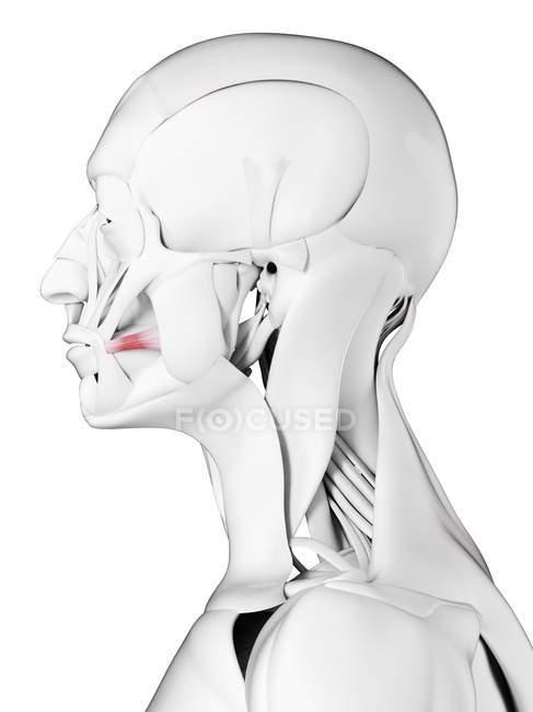 Anatomía masculina que muestra músculo Risorio, ilustración por computadora . - foto de stock