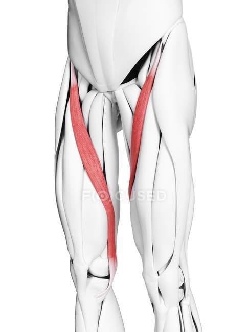 Anatomia masculina mostrando músculo Sartorius, ilustração computacional . — Fotografia de Stock