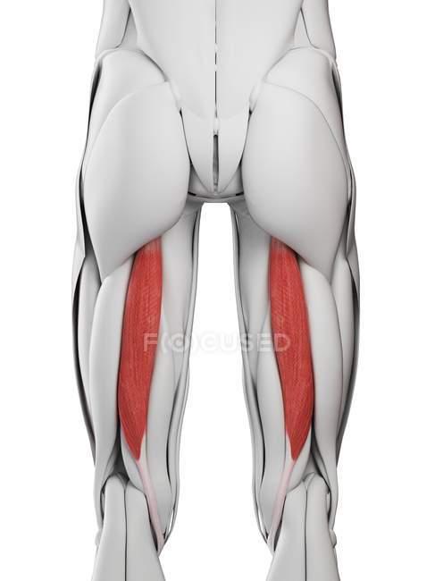 Anatomia masculina mostrando músculo de Semitendinosus, ilustração do computador . — Fotografia de Stock