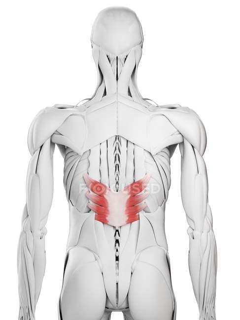 Anatomía masculina que muestra el músculo inferior posterior de Serratus, ilustración por computadora . - foto de stock
