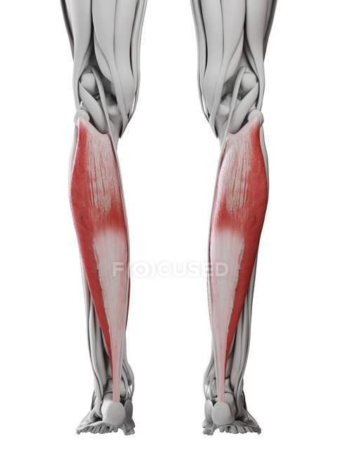Мужская анатомия, показывающая мышцы Солеуса, компьютерная иллюстрация . — стоковое фото