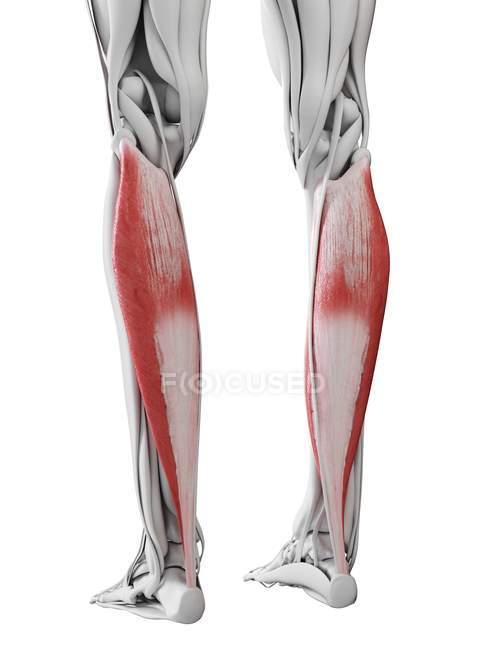 Мужская анатомия, показывающая мышцу Soleus, компьютерная иллюстрация. — стоковое фото