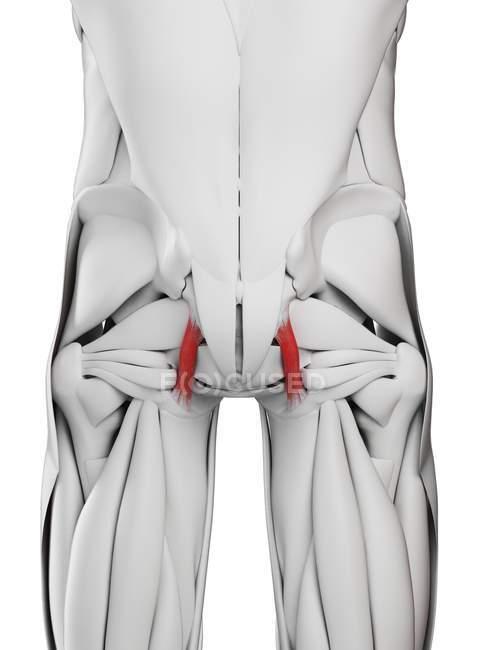 Cuerpo masculino con ligamentos Sacrotuberosos de colores, ilustración por ordenador . - foto de stock
