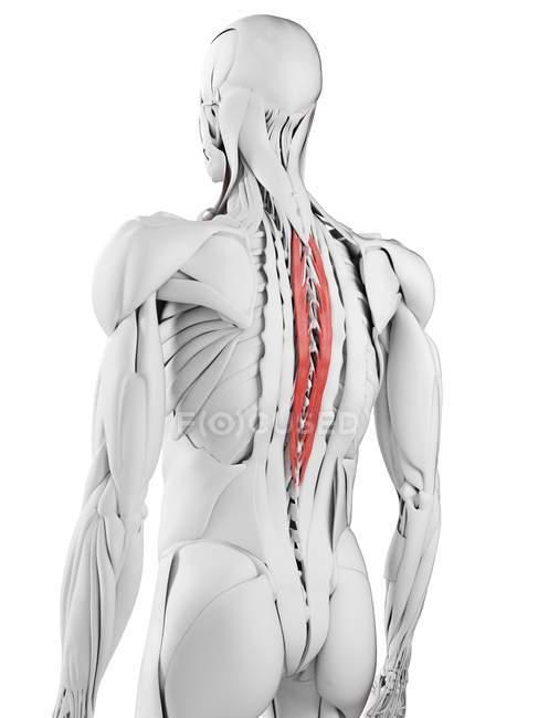 Anatomía masculina que muestra el músculo espinal torácico, ilustración por computadora . - foto de stock