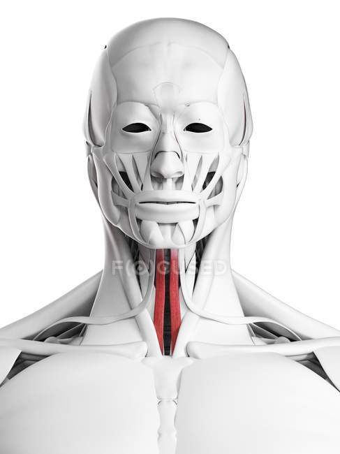 Male anatomy showing Sternohyoid muscle, computer illustration. — Stock Photo