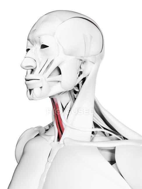 Esternohioides visibles, músculo en el cuerpo masculino, ilustración digital . - foto de stock