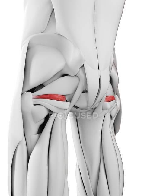 Anatomia masculina mostrando músculo gemelo superior, ilustração computacional . — Fotografia de Stock