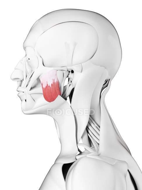 Anatomia masculina mostrando músculo masseter superior, ilustração computacional . — Fotografia de Stock