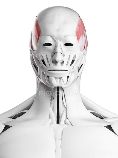 Anatomía masculina que muestra músculo temporal, ilustración por computadora . - foto de stock