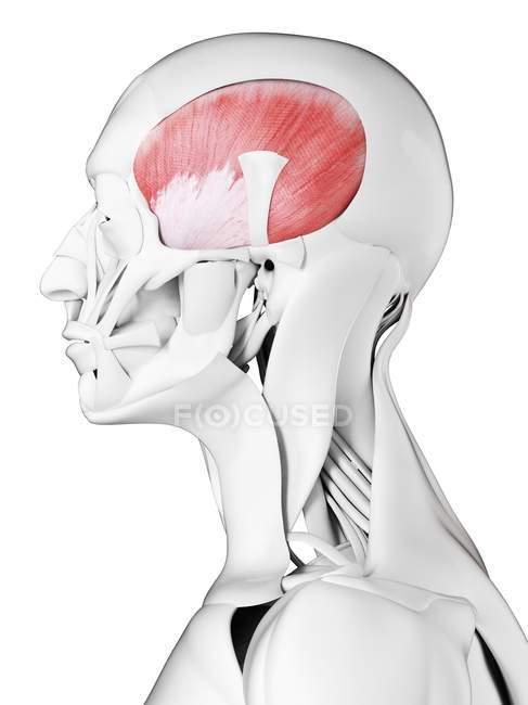 Anatomia masculina mostrando músculo temporal, ilustração computacional . — Fotografia de Stock