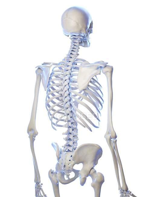 Anatomía del esqueleto humano huesos de tórax, ilustración por ordenador . - foto de stock