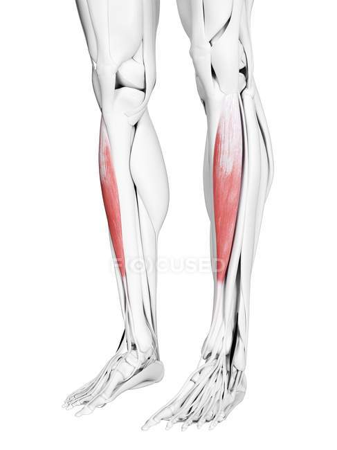 Мужская анатомия, показывающая переднюю мышцу Tibialis, компьютерная иллюстрация . — стоковое фото