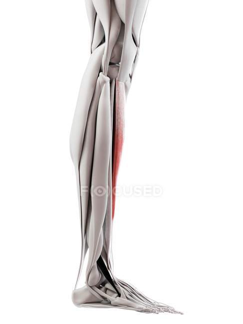 Male anatomy showing Tibialis anterior muscle, computer illustration. — Stock Photo