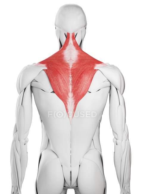 Anatomía masculina que muestra músculo Trapezius, ilustración por computadora . - foto de stock
