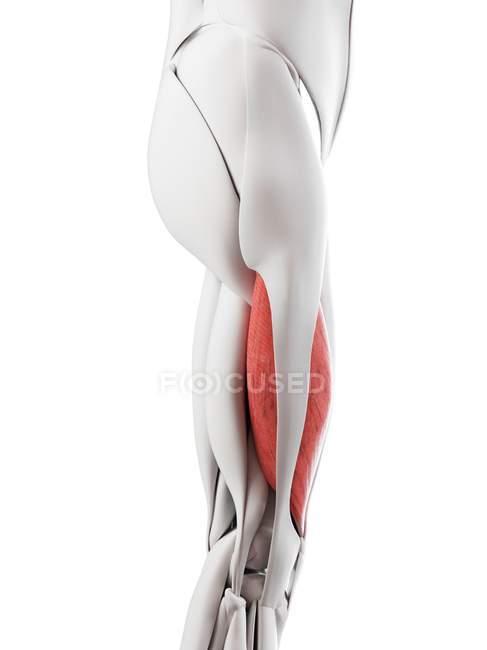Anatomía masculina que muestra músculo Vastus lateralis, ilustración por computadora . - foto de stock