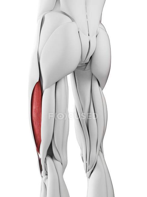 Чоловік з анатомією Vastus lateralis м'яз, комп'ютерна ілюстрація. — Stock Photo