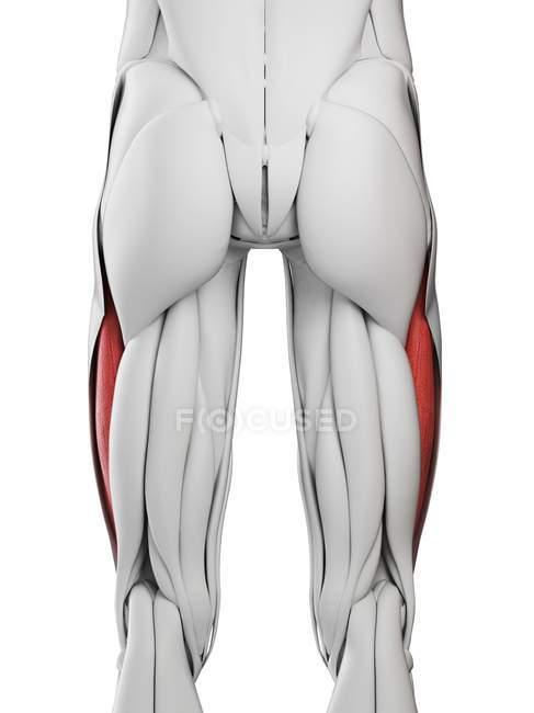 Мужская анатомия с вастусом латеральной мышцы, компьютерная иллюстрация . — стоковое фото