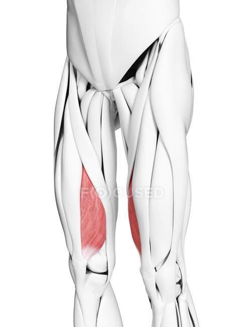 Anatomía masculina que muestra músculo Vastus medialis, ilustración por computadora . - foto de stock