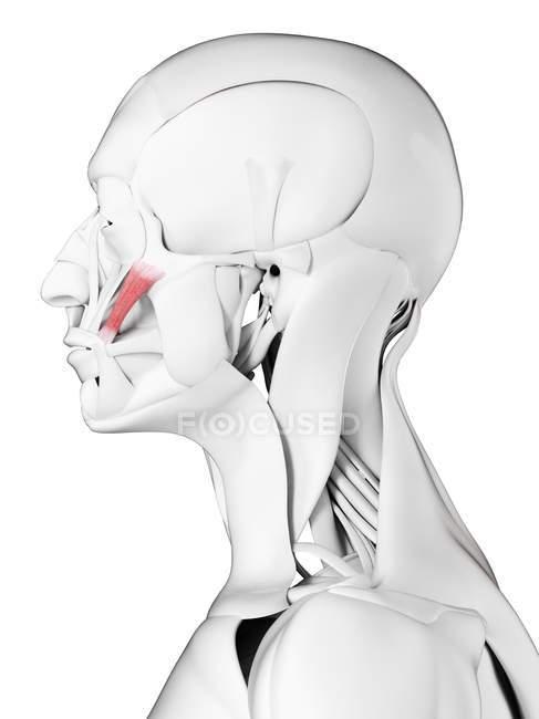 Anatomía masculina que muestra el músculo mayor de Zygomaticus, ilustración por computadora . - foto de stock