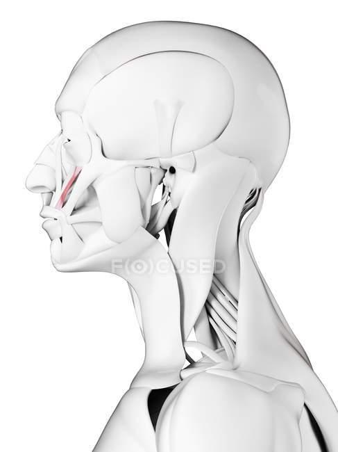 Anatomía masculina que muestra el músculo menor de Zygomaticus, ilustración por computadora . - foto de stock
