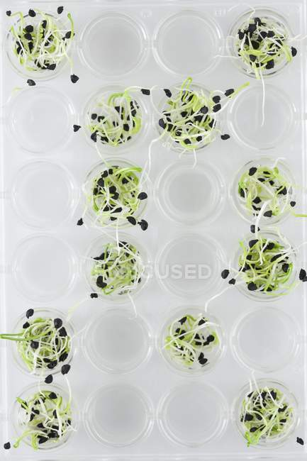Semis en verrerie de laboratoire, image conceptuelle de la recherche végétale et du génie génétique . — Photo de stock