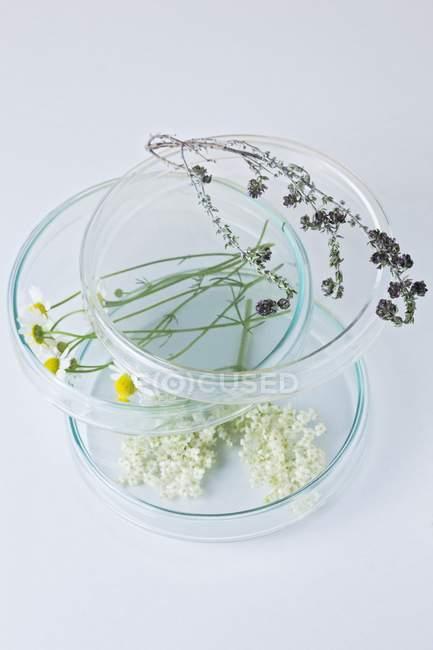 Flores de manzanilla, tomillo, saúco y salvia en placas de petri apiladas, concepto de investigación botánica . - foto de stock