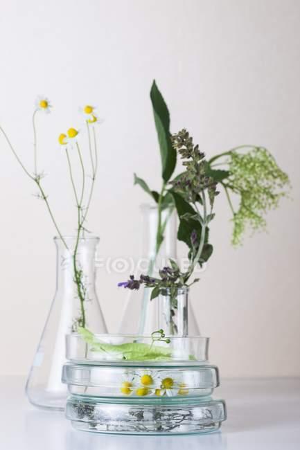 Flores de manzanilla, tomillo, flores de saúco, hojas de tilo y salvia en placas de Petri apiladas, concepto de investigación botánica . - foto de stock