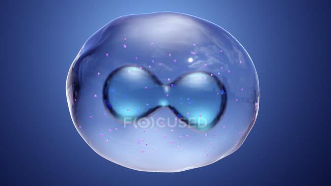 Анимальная клетка во время ядерного деления митоза, цифровая иллюстрация. — стоковое фото