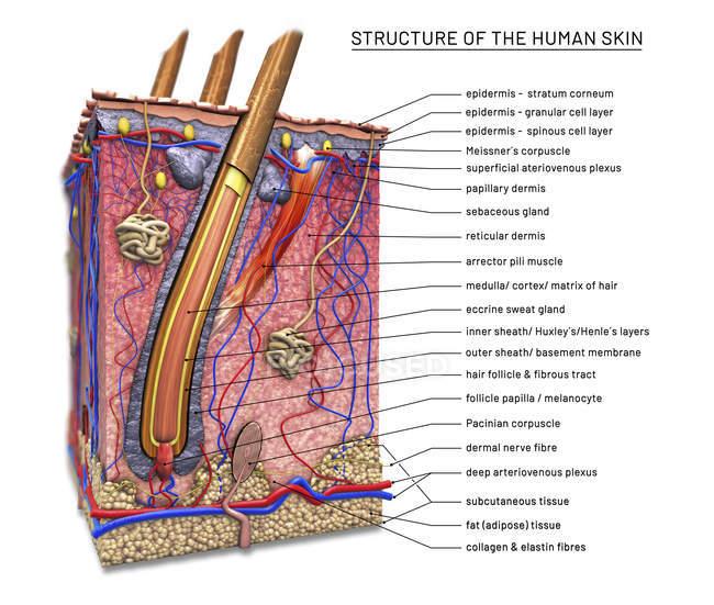 Поперечное сечение кожи человека с волосяными фолликулами, цифровая иллюстрация. — стоковое фото