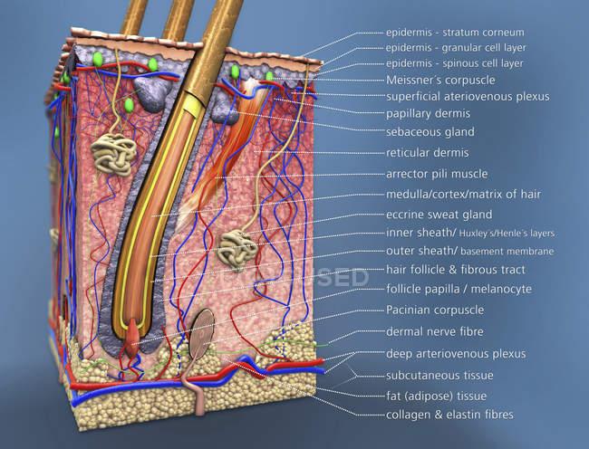 Querschnitt menschlicher Haut mit Haarfollikel, digitale Illustration. — Stockfoto