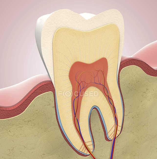 Sezione del dente molare, illustrazione digitale . — Foto stock