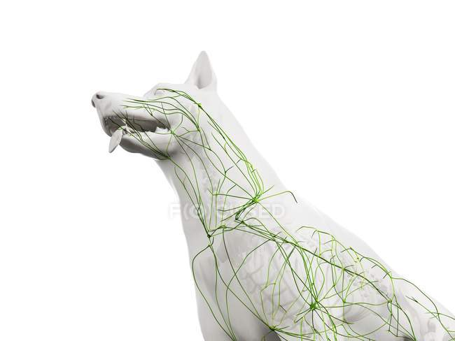 Structure of dog lymphatic system with lymph vessels, cropped, digital illustration. — Stock Photo
