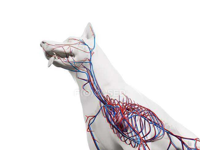 Estructura del sistema vascular del perro con vasos sanguíneos de colores en el cuerpo transparente, recortado, ilustración de la computadora . - foto de stock