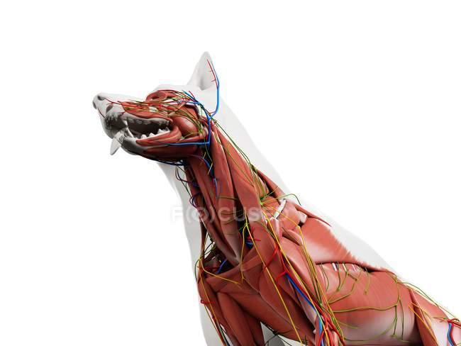 Hundeanatomie mit Muskulatur und inneren Organen, digitale Illustration. — Stockfoto