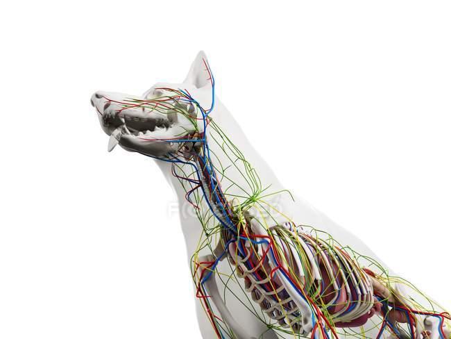 Anatomía del perro con órganos internos, ilustración digital . - foto de stock