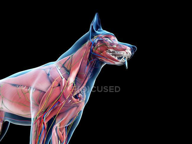 Dog anatomy with musculature and internal organs, digital illustration. — Stock Photo