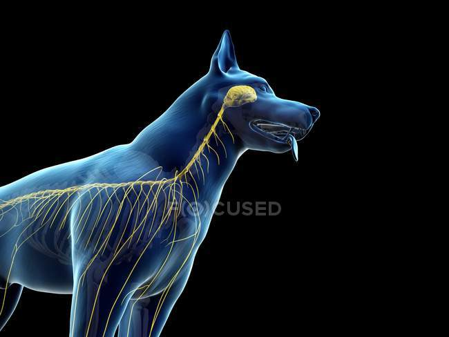 Structure of dog nervous system, cropped, computer illustration. — Stock Photo