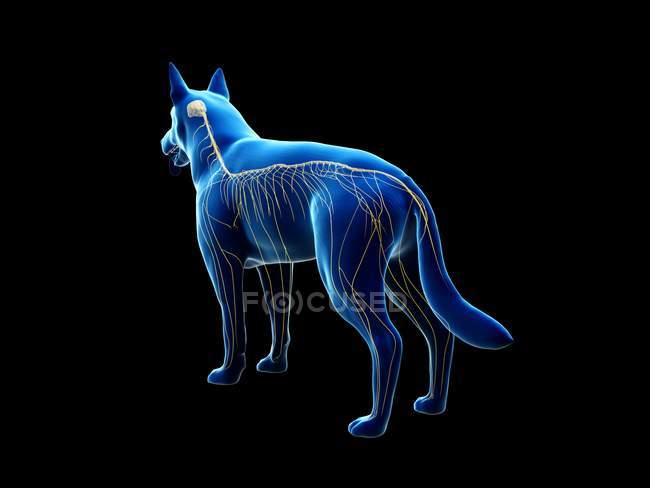 Structure of dog nervous system, rear view, computer illustration. — Stock Photo