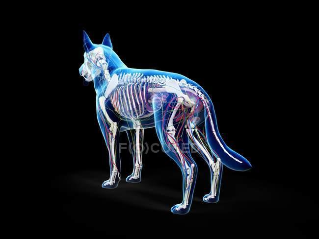 Полная анатомия собаки с внутренними органами, цифровая иллюстрация. — стоковое фото