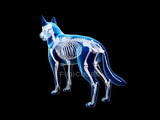 Structure of dog skeleton, rear view computer illustration. — Stock Photo