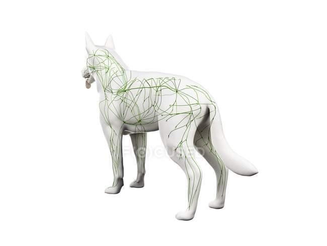 Struktur des Hunde-Lymphsystems mit Lymphgefäßen, digitale Illustration. — Stockfoto