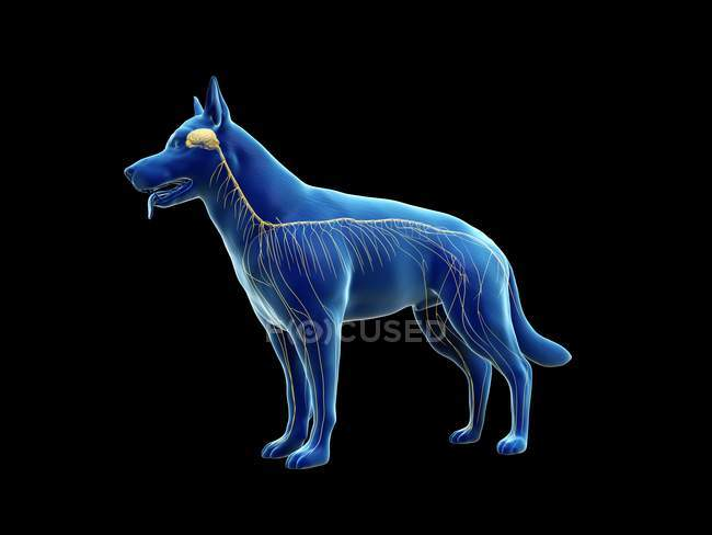 Structure of dog nervous system, computer illustration. — Stock Photo