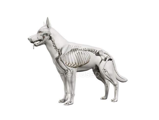 Structure of dog skeleton, computer illustration. — Stock Photo